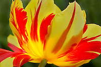 Tulip (Merry Christmas). Wooden Shoe Tulip Farm. Woodburn. Oregon