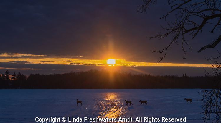 White-tailed deer walk across a frozen lake just as the sun is rising in northern Wisconsin.