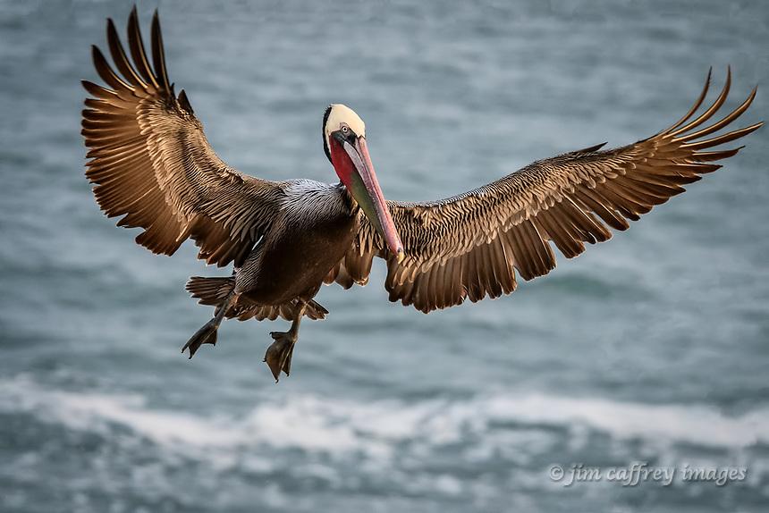 A Brown Pelican lands at La Jolla Cove near San Diego, California.