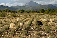 ALBANIA, Shkodra, farming of herbal and medical plants, sheeps in lavender field infront of albanian alps / ALBANIEN, Shkoder, Anbau von Heil- und Gewuerzpflanzen, Schafherde in Lavendel Feld vor Albanischen Alpen