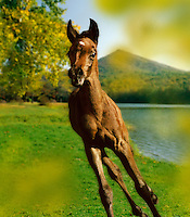 Arabian foal near lake.