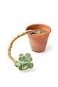 Pachyphytum oviferum, the Sugaralmond Plant, growing in a terracotta pot. Originating from Northern Mexico. website