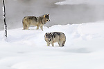 Two wolves (Canis lupus). Yellowstone National Park, Wyoming, USA. January.
