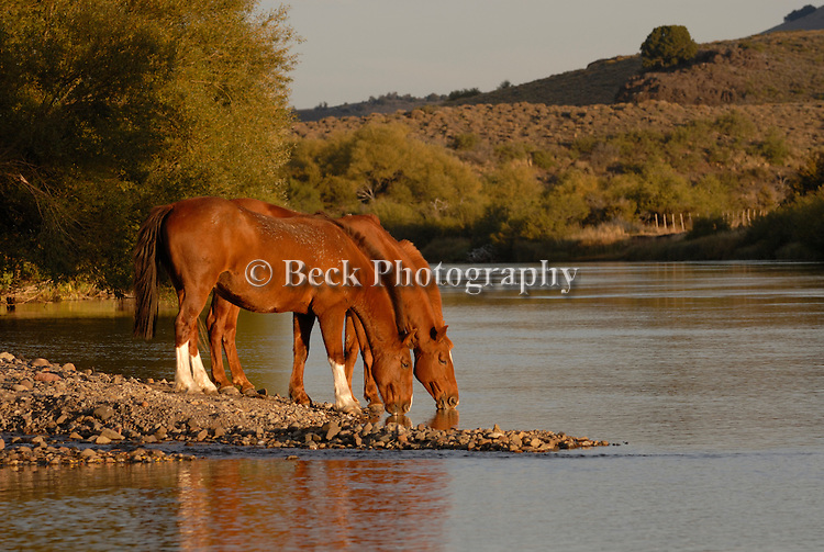 Two horses taking a drink.