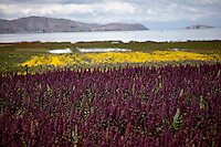 A picture dated February 23, 2012 shows plants of quinoa in the region of the Titicaca Lake, in La Paz, Bolivia.  2013  was declared the international year of Quinoa by the UN.  Bolivia is the main producer of quinoa in the world.