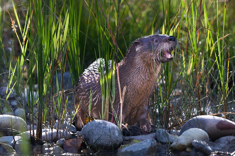 River Otter watching from the edge of a river through the tall grass with its mouth open