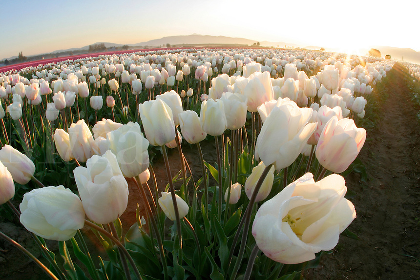 Field of white tulips, Mount Vernon, Skagit Valley, Skagit County, Washington, USA