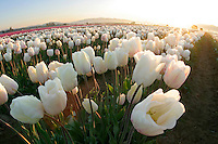 Field of white tulips, Mount Vernon, Skagit Valley, Skagit County, Washington, USA