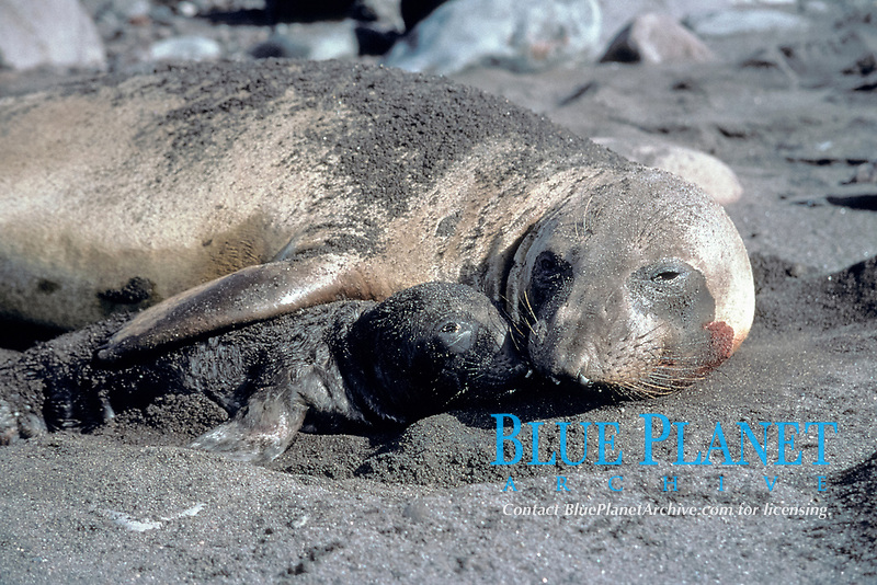 newborn baby elephant seal pup, Mirounga angustirostris, lying next to mother, Guadalupe Island, Mexico, Pacific Ocean