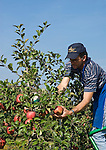 Italy, South tyrol (Alto Adige) Eppan, below district St. Pauls, contract worker at apple crop