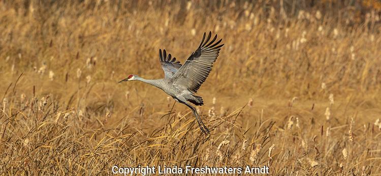 Sandhill crane in Crex Meadows (northwestern Wisconsin).