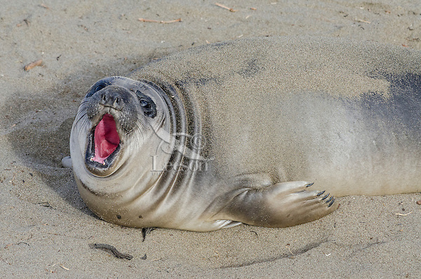 """Northern Elephant Seal (Mirounga angustirostris) pup (often called a """"weaner"""").  Central California coast."""