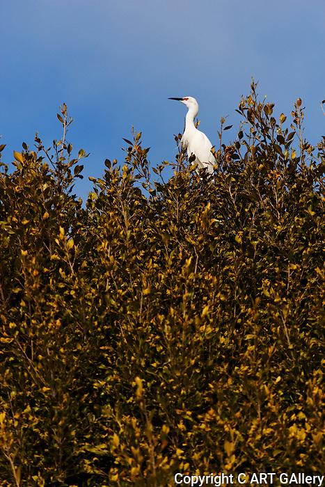 Egret in a tree, Upper Newport Bay, California