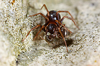 Ameisenjäger, mit erbeuteter Ameise, Beute, Zodarion germanicum, Lucia germanica, ant-eating spider, Zodariidae, Ameisenjäger