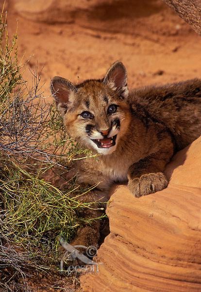 COUGAR/MOUNTAIN LION/PUMA..Four month old young..Near Canyonlands National Park, Utah..Autumn. (Felis concolor).