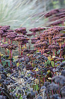 Sedum 'Matrona' and Festuca mairei