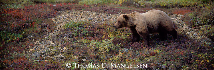 Engrossed in the abundant blue-, bear-, and gooseberries so typical of the autumnal Alaska tundra, a grizzly bear follows ripening berry patches for as far as his nose will take him.<br /> Denali National Park, Alaska
