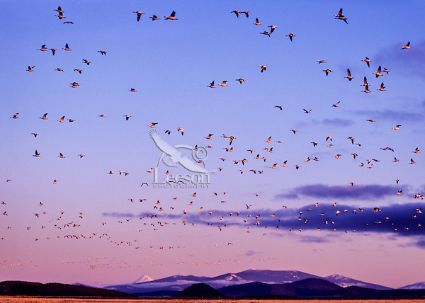 Snow geese during early spring-late winter migration.  Lower Klamath National Wildlife Refuge, California-Oregon.  Shortly after sunrise.
