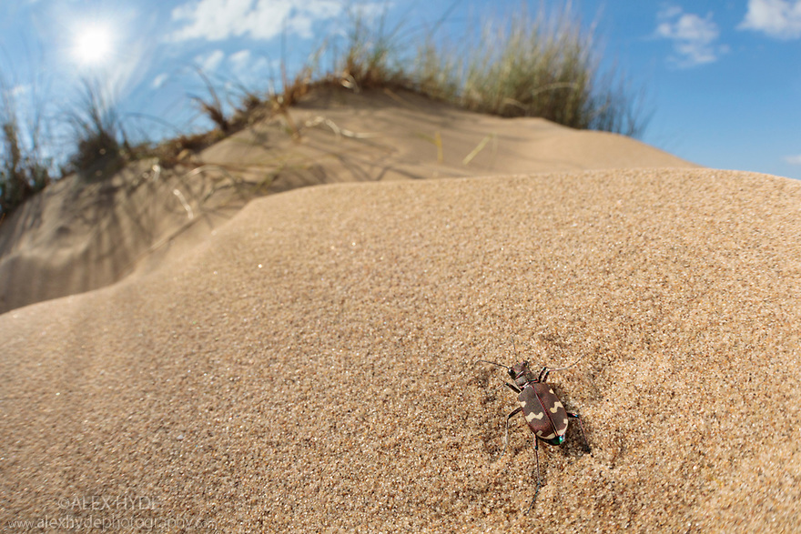 Northern Dune Tiger Beetle (Cicindela hybrida) on dune system at Ainsdale Nature Reserve, Merseyside, UK. May. Photographer: Alex Hyde