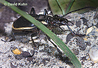 0413-1103  Ground Beetle, Large Jaws and Can Squirt Formic Acid Up to 30 cm, Anthia cinctipennis  © David Kuhn/Dwight Kuhn Photography
