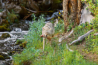 Wild Coyotes (Canis latrans) with cutthroat trout it has caught.  Trout is loosing its eggs as it was in the small stream to spawn.  Western U.S., June.
