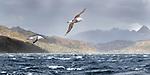 Black-browed albatross (Thalassarche melanophris) in flight over rough seas. Straits of Magellan, Patagonia, Chile