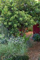 Heteromeles arbutifolia (Toyon) -  California native evergreen shrub by path in mixed border leading to side yard in Sibley drought tolerant front yard garden, Richmond California