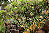 Evergreen shrub, Vine Hill Manzanita Arctostaphylos densiflora in Kyte California native plant landscape garden with rocks and Sticky Monkey Flower