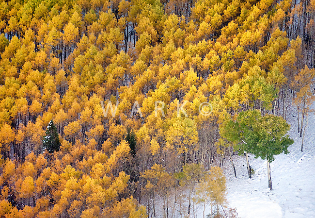 a green aspen surrounded by yellow aspen and gold aspen