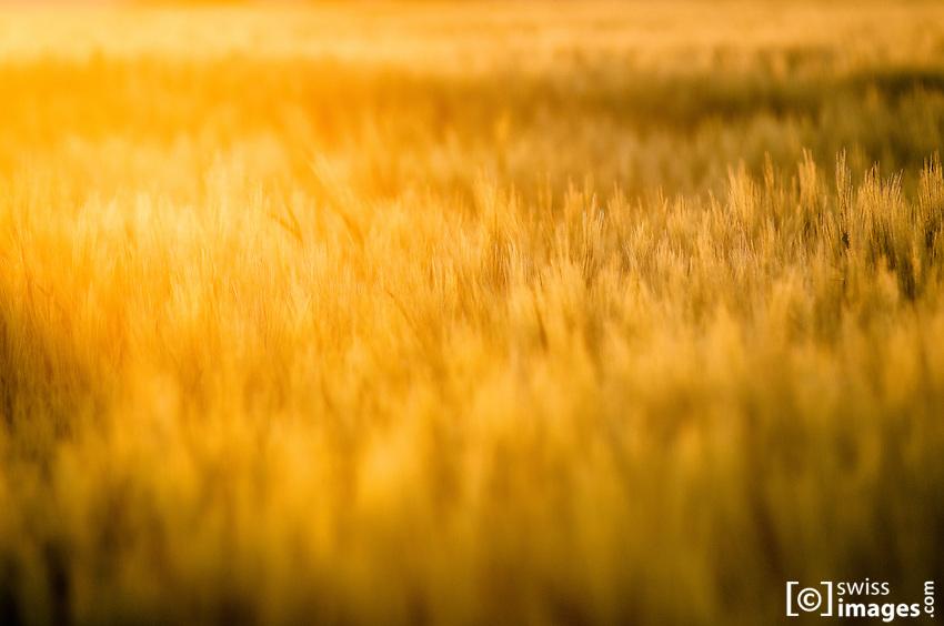Corn field at sunset