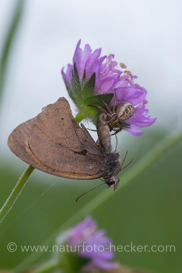 Krabbenspinne, Braune Krabbenspinne, hat Schmetterlinge erbeutet, Beute, Busch-Krabbenspinne, Kamm-Buschkrabbenspinne, Xysticus cf. cristatus, crab spider, prey, Krabbenspinnen, Thomisidae, crab spiders