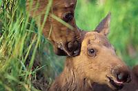 moose, Alces alces, cow with newborn calf, Kenai peninsula, southcentral, Alaska, USA
