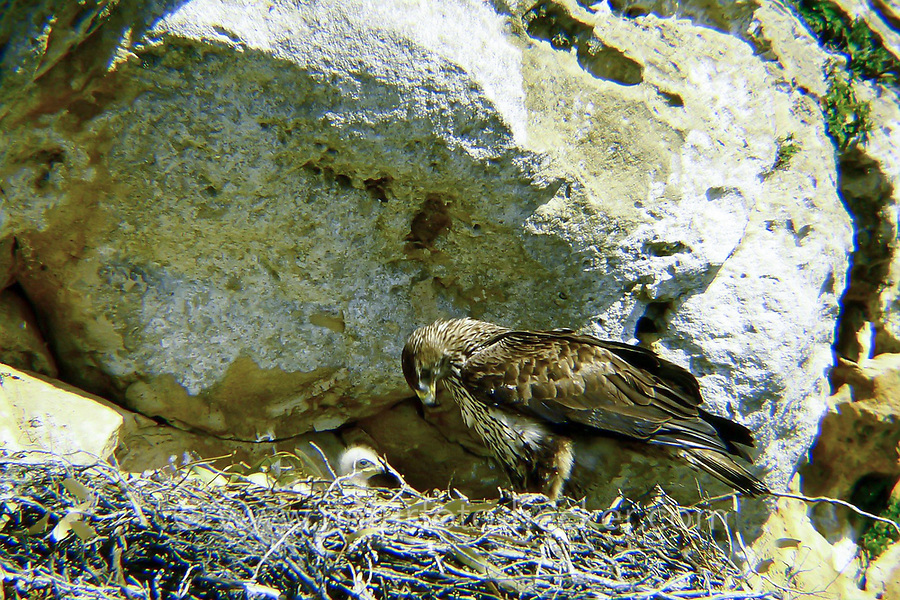 Habichtsadler, Altvogel und Junges am Nest, Horst, Habichts-Adler, Hieraaetus fasciatus, Aquila fasciata, Bonelli's eagle, L'Aigle de Bonelli