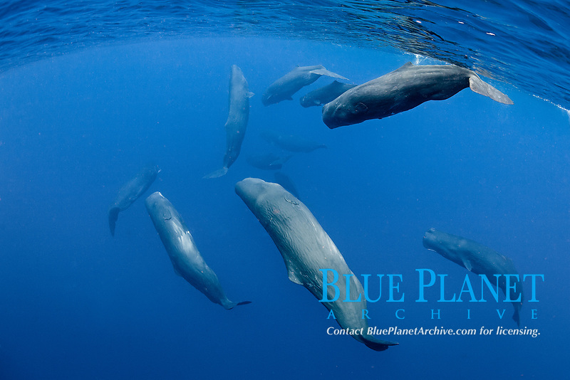 sperm whale, or cachalot, Physeter macrocephalus, pod with mother and calf, socializing, Dominica, Caribbean Sea, Atlantic Ocean, permit # RP 13/365 W-03