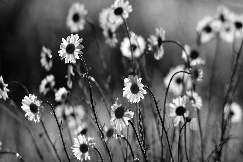 Wild daisies. Near Monroe, Oregon.