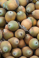 Attalea maripa fruits, locally known in Trinidad & Tobago as Cocorite. Palm native to Bolivia, Brazil North, Brazil West-Central, Colombia, Ecuador, French Guiana, Guyana, Peru, Suriname