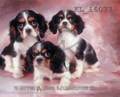 Interlitho, Alberto, ANIMALS, dogs, photos, 3 king ch.spaniels(KL16077,#A#) Hunde, perros
