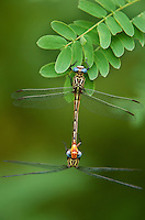 334090012 a wild pair of russet-tipped clubtail dragonflies stylurus plagiatus in copula or mating while hanging on a leaf blade near the naba site along the rio grande river in the lower rio grande valley in south texas