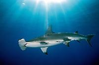 A great hammerhead shark, Sphyrna mokarran, off an isolated reef in the northern Bahamas, Caribbean, Atlantic Ocean (de)