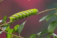 Ligusterschwärmer, Liguster-Schwärmer, Raupe, Sphinx ligustri, privet hawkmoth, Privet Hawk-moth, Privet Hawk Moth, caterpillar, Le sphinx du troène, Schwärmer, Sphingidae, hawkmoths, hawk moths, sphinx moths