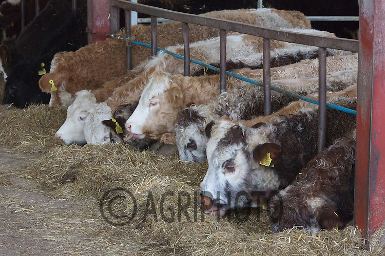 Store cattle <br /> Picture Tim Scrivener 07850 303986<br /> tim@agriphoto.com<br /> ….covering agriculture in the UK….