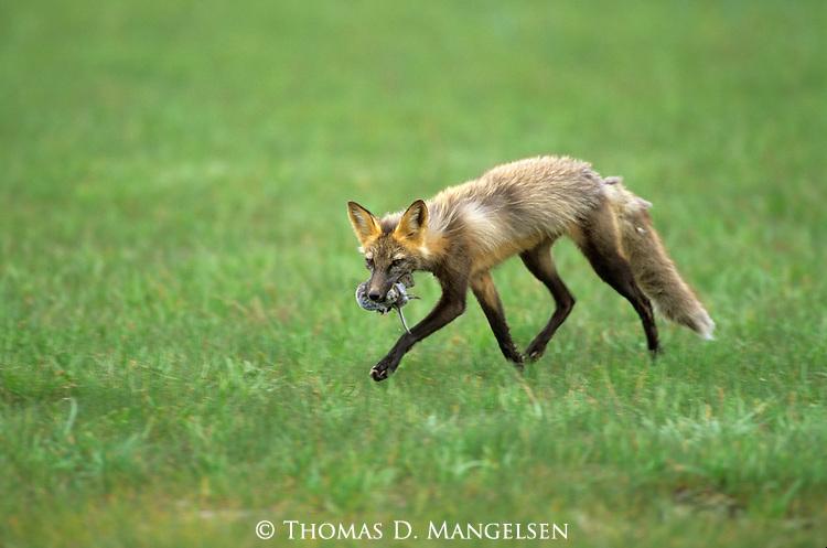 Cross Fox (Vulpes vulpes) carrying carcass. Denali National Park, AK