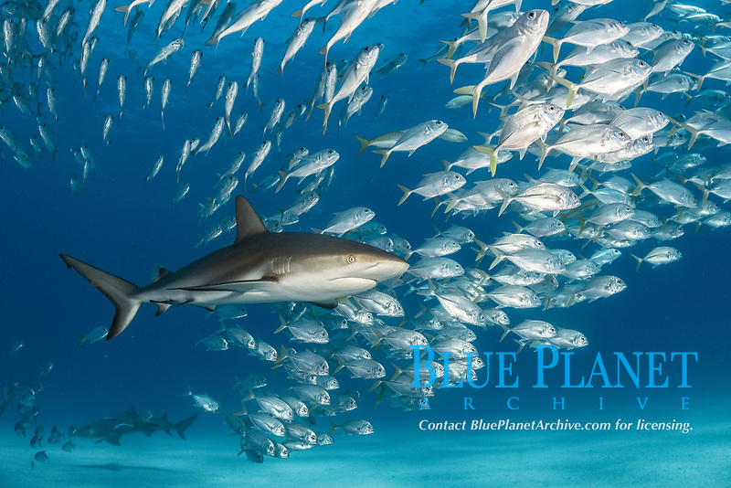 Caribbean Reef Shark, Carcharhinus perezi, and schooling horse-eye jacks, Caranx latus, Tiger Beach, Little Bahama Bank, Bahamas.