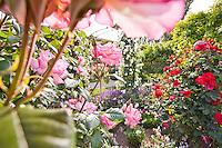 Rose, climbing 'Handel' in sunny California garden