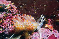 Opalescent Nudibranch (Hermissenda crassicornis), British Columbia, Canada.