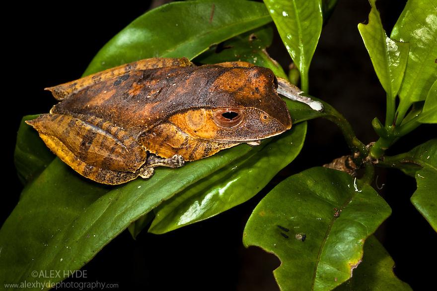 Madagascar tree / Leaf litter frog {Boophis madagascariensis} in rainforest tree. Masoala Peninsula National Park, north east Madagascar.