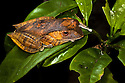 Madagascar tree / Leaf litter frog {Boophis madagascariensis} in rainforest tree. Masoala Peninsula National Park, north east Madagascar.