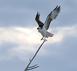 Osprey landing, Eluethera