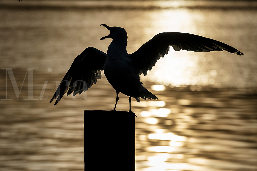 Seagull squaking on pier, Cape Cod, Massachusetts, USA.