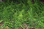 Bracken blanketing forest floor, many plants